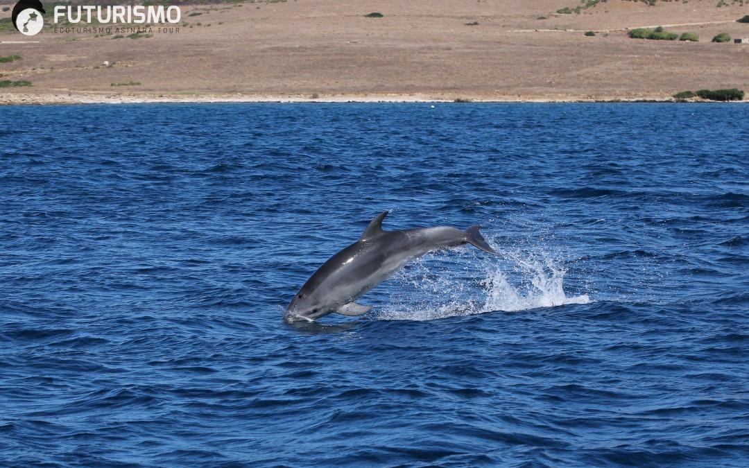 Non perdere l'occasione di avvistare i delfini nel Golfo dell'Asinara.