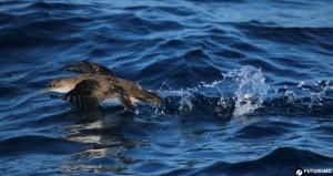 Berta Minore nell'Area Marina Protetta dell'Asinara