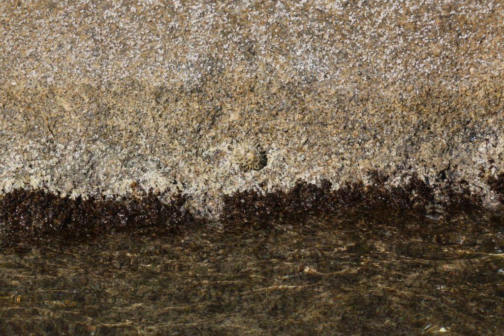 Patella ferruginea, Parco Nazionale dell'Asinara. Fotografate dutante le escursioni in barca.