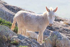 Asinello bianco nelle rocce dell'Asinara