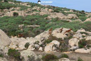 Mufloni all'Asinara
