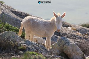 Asino bianco endemismo Asinara