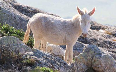 Unico al mondo l'asino bianco è il simbolo dell'Asinara