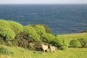 donkey Asinara