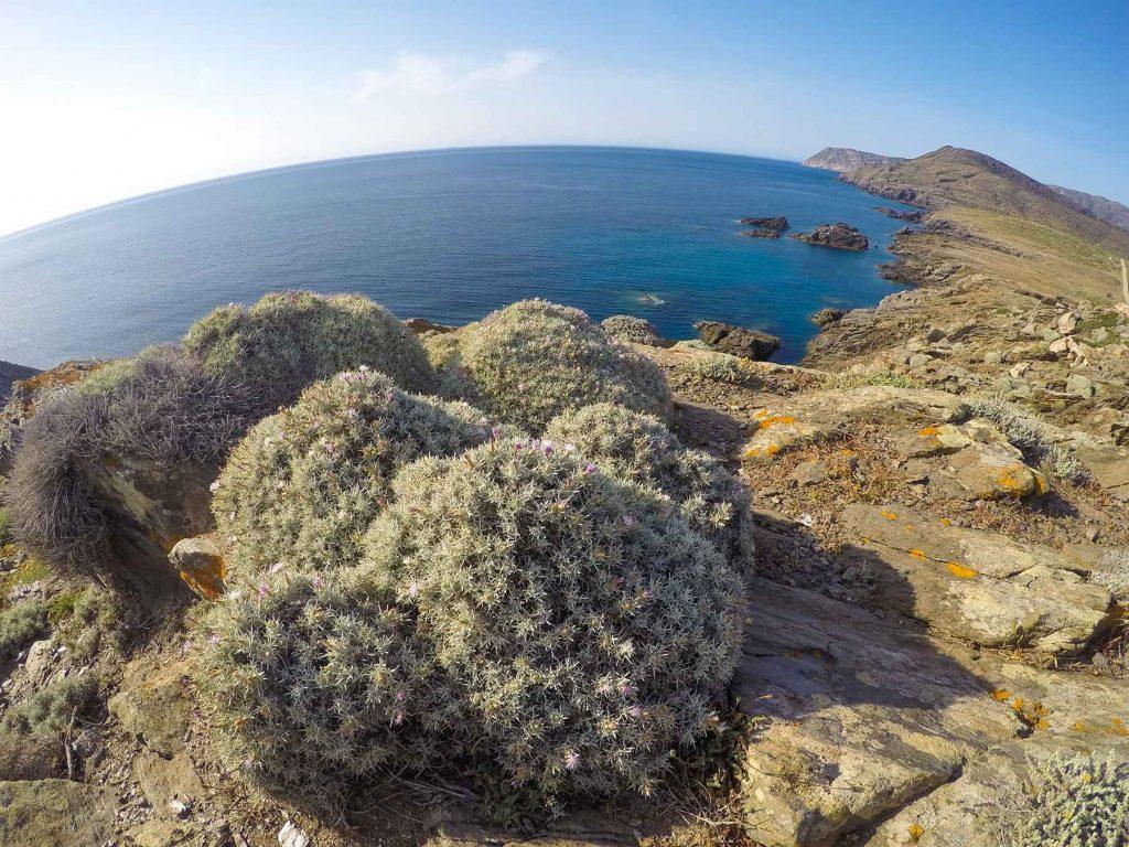 Centaurea horrida, Isola dell'Asinara. Foto di Claudio Serra ©.