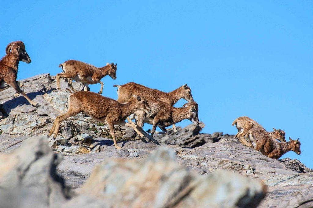 Mufloni a Punta Salippi. Foto di Claudio Serra ©.